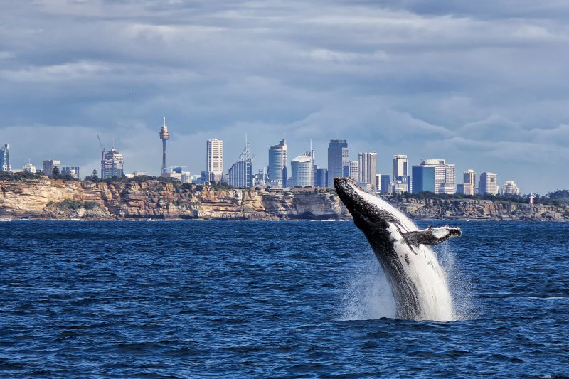 A whale breaching out of the water off Sydney Harbour