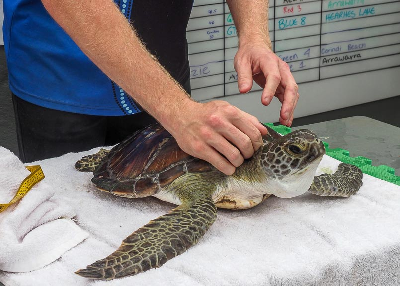 A sea turtle is on a bench in a veterinary room with hands holding it in place.