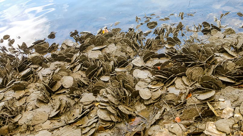 Flat Leaf Oysters lie scattered on the ground in mud and next to calm water.