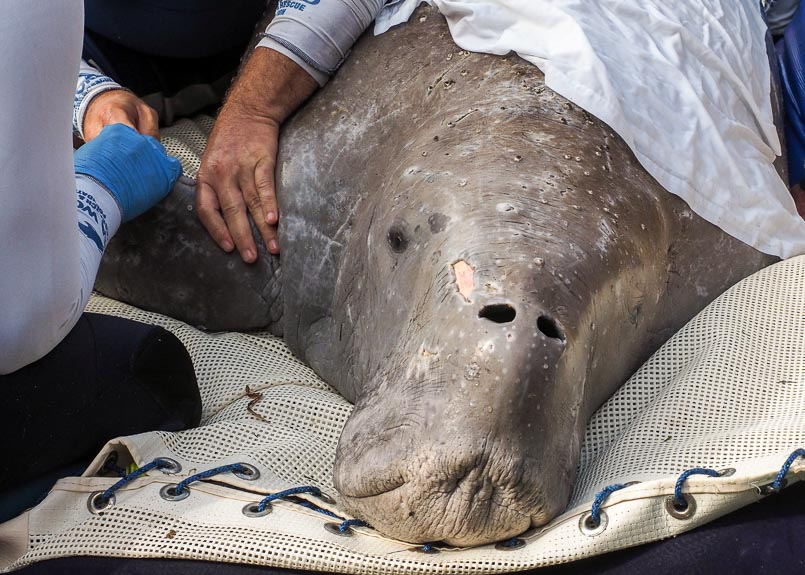 Peoples hands holding the flipper of a dugong which is lying on a mesh mat.