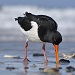 Oystercatcher -133544541- credit iStock.com mauribo