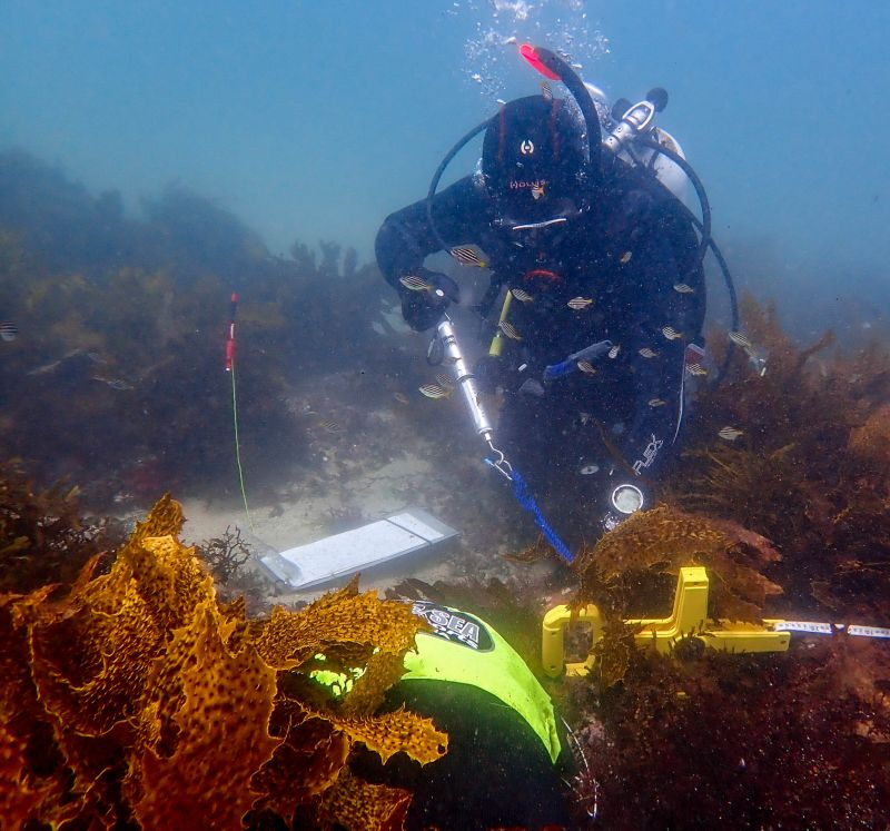 A scuba diver using measuring equipment on kelp beds