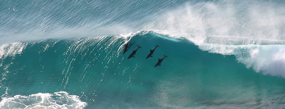 Four dolphins in a wave at Byron Bay, NSW - Credit: istock.com - AnaDruga